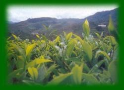 plantation2