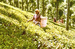 tea-estates-in-nilgiri1