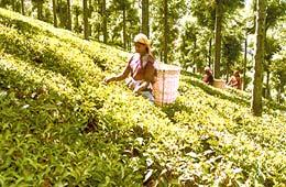 tea-estates-in-nilgiri1
